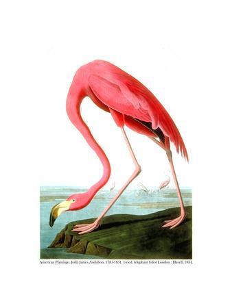 https://imgc.artprintimages.com/img/print/american-flamingo-1834_u-l-plptty0.jpg?p=0