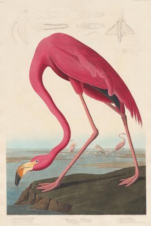 https://imgc.artprintimages.com/img/print/american-flamingo-1838_u-l-q1byf2c0.jpg?p=0