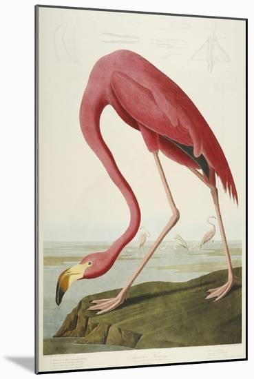 American Flamingo, from 'The Birds of America'-John James Audubon-Mounted Giclee Print