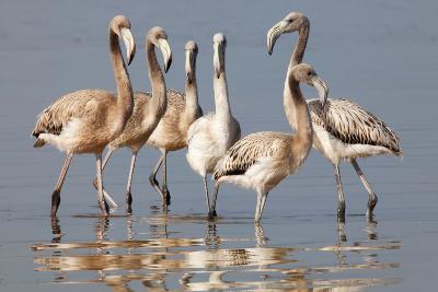 American Flamingo (Phoenicopterus Ruber) Juveniles-Claudio Contreras-Photographic Print