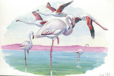 American Flamingo Phoenicopterus Ruber--Giclee Print