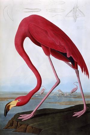 https://imgc.artprintimages.com/img/print/american-flamingo_u-l-ps9jov0.jpg?p=0