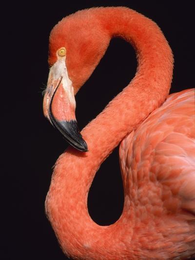 American flamingo-Herbert Kehrer-Photographic Print