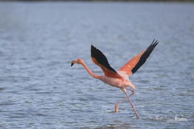 American Flamingo-DLILLC-Photographic Print