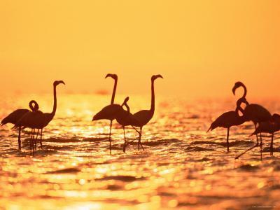 American Flamingos on Lake at Sunset, Yucatan, Mexico-Lucasseck-Photographic Print