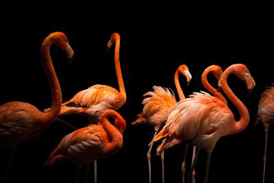 American Flamingos, Phoenicopterus Ruber, at the Lincoln Children's Zoo-Joel Sartore-Photographic Print