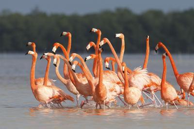 American Flamingos (Phoenicopterus Ruber) Perform Elaborate Marchlike Courtship Displays-Gerrit Vyn-Photographic Print