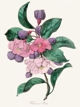 https://imgc.artprintimages.com/img/print/american-flora-chinese-pear_u-l-f93yuc0.jpg?p=0