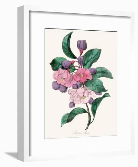 American Flora Chinese Pear-New York Botanical Garden-Framed Art Print