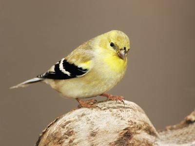 American Goldfinch (Carduelis Tristis), North America-John Cornell-Photographic Print