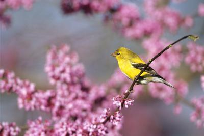 American Goldfinch Female in Eastern Redbud, Marion, Il-Richard and Susan Day-Photographic Print