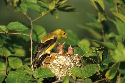 American Goldfinch Female with Nestlings at Nest, Marion, Il-Richard and Susan Day-Photographic Print