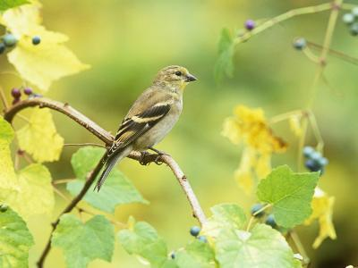 American Goldfinch in the Fall (Carduelis Tristis), North America-Steve Maslowski-Photographic Print