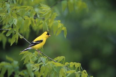 American Goldfinch Male in Common Hackberry Tree, Marion, Il-Richard and Susan Day-Photographic Print