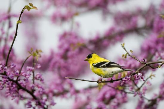 American Goldfinch Male in Eastern Redbud Tree. Marion, Illinois, Usa-Richard ans Susan Day-Photographic Print