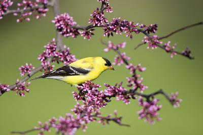 American Goldfinch Male in Eastern Redbud Tree Marion, Illinois, Usa-Richard ans Susan Day-Photographic Print