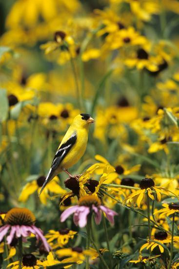 American Goldfinch Male on Black-Eyed SUSAns Marion County, Illinois-Richard and Susan Day-Photographic Print