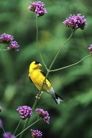American Goldfinch Male on Brazilian Verbena in Garden, Marion, Il-Richard and Susan Day-Photographic Print