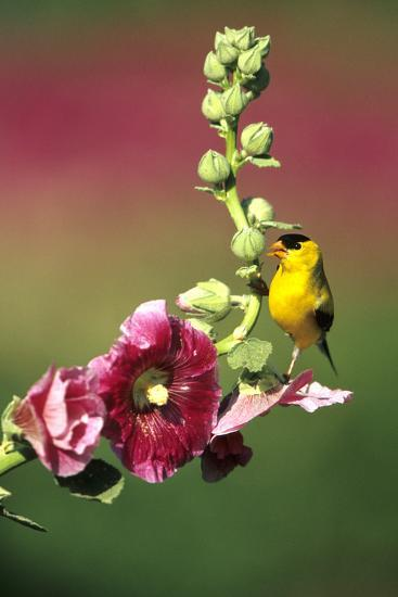 American Goldfinch Male on Hollyhock, Marion, Il-Richard and Susan Day-Photographic Print