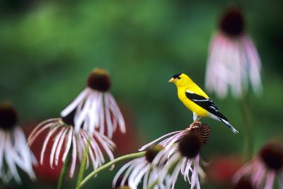 American Goldfinch Male on Pale Purple Coneflower in Flower Garden, Marion, Il-Richard and Susan Day-Photographic Print