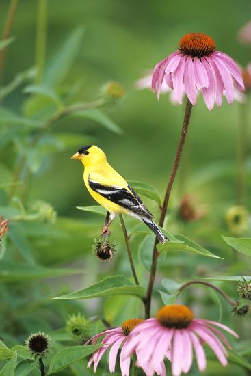 American Goldfinch Male on Purple Coneflower, Marion County, Illinois-Richard and Susan Day-Photographic Print
