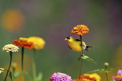 American Goldfinch Male on Zinnia, Marion County, Illinois-Richard and Susan Day-Photographic Print