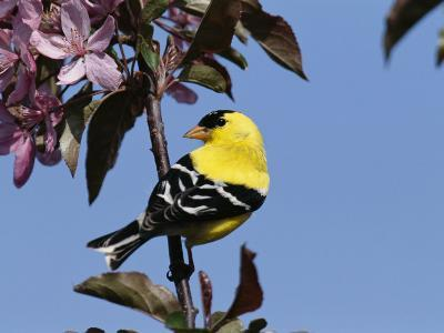 American Goldfinch Perched on a Flowering Tree Branch-George Grall-Photographic Print