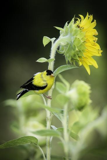 American Goldfinch-Gary Carter-Photographic Print