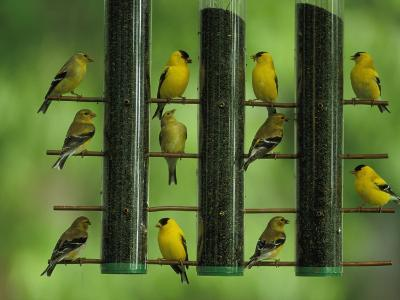 American Goldfinches Feed on Thistle Seed from a Garden Feeder-Joel Sartore-Photographic Print