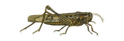 American Grasshopper (Schistocerca Americana), Insects-Encyclopaedia Britannica-Art Print
