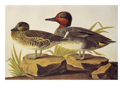 American Green-Winged Teal-John James Audubon-Art Print