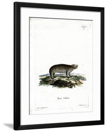 American Hyrax--Framed Giclee Print