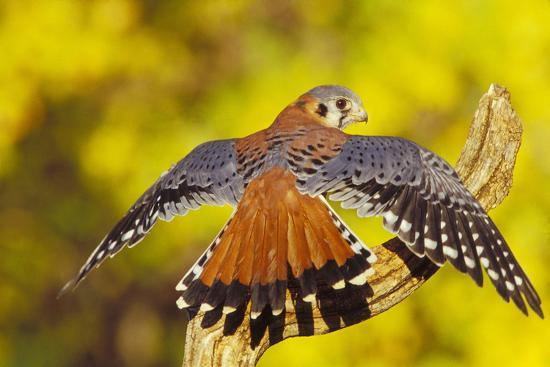 American Kestrel Displaying, Wings Oustretched--Photographic Print