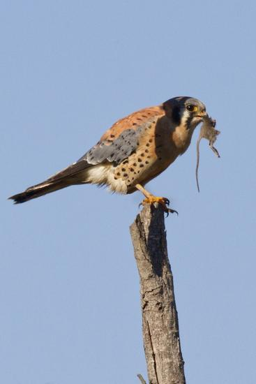 American Kestrel Eating a Rodent-Hal Beral-Photographic Print