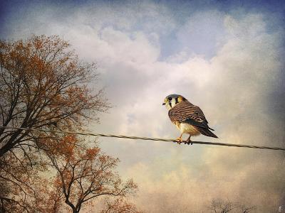 American Kestrel in Autumn-Jai Johnson-Giclee Print