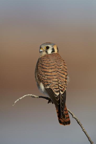 American Kestrel (Sparrow Hawk) (Falco Sparverius) Female-James Hager-Photographic Print