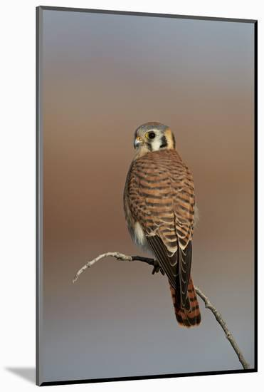 American Kestrel (Sparrow Hawk) (Falco Sparverius) Female-James Hager-Mounted Photographic Print