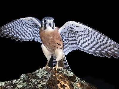 American Kestrels (Falco Sparverius) are Native to North and South America, Captive-Michael Kern-Photographic Print