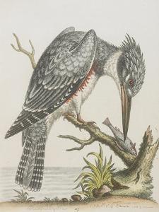 American Kingfisher