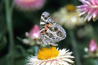 American Lady Butterfly on Outback Paper Daisy, Marion County, Illinois-Richard and Susan Day-Photographic Print