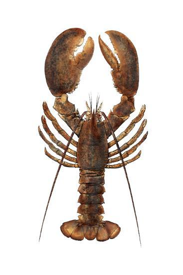 American Lobster, From a Specimen in Eastport, Maine, 1880s--Photographic Print