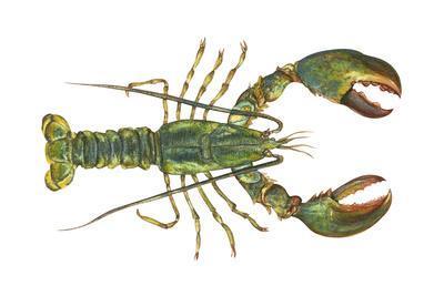 https://imgc.artprintimages.com/img/print/american-lobster-homarus-americanus-crustaceans_u-l-q135k8u0.jpg?p=0