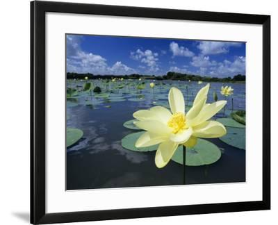 American Lotus, Welder Wildlife Refuge, Rockport, Texas, USA-Rolf Nussbaumer-Framed Photographic Print
