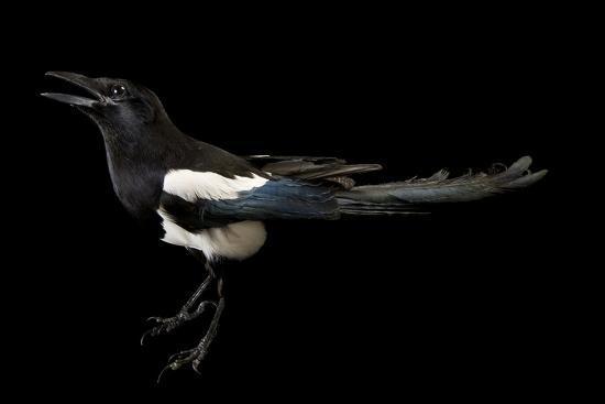 American Magpie, Pica Hudsonia.-Joel Sartore-Photographic Print