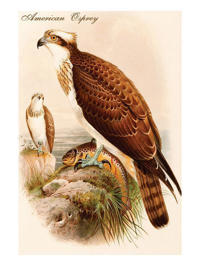 American Osprey-John Gould-Art Print