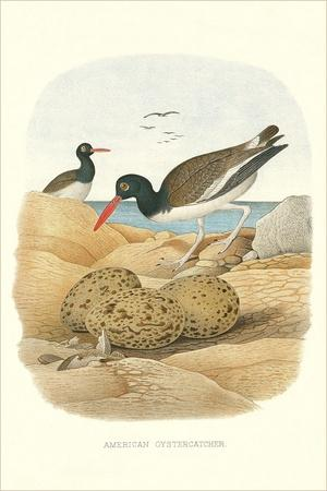 American Oystercatcher--Art Print