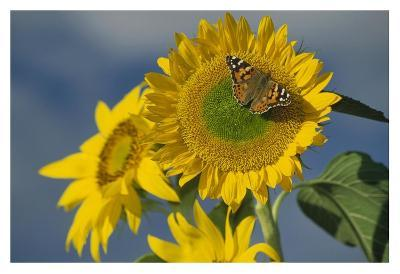 American Painted Lady butterfly on sunflower, New Mexico-Tim Fitzharris-Art Print