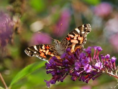 American Painted Lady Butterfly, Vanessa Virginiensis, on Flowers-Darlyne A^ Murawski-Photographic Print
