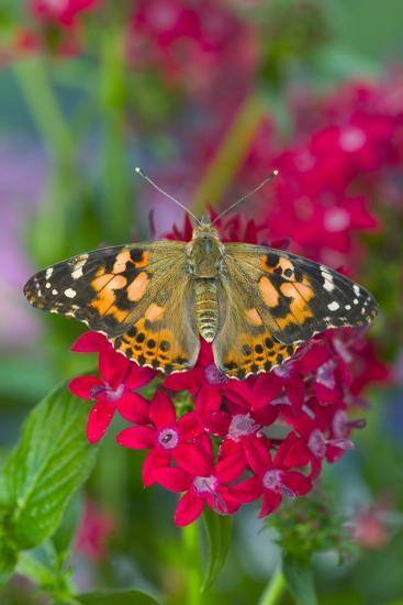 American Painted Lady Butterfly-Darrell Gulin-Photographic Print