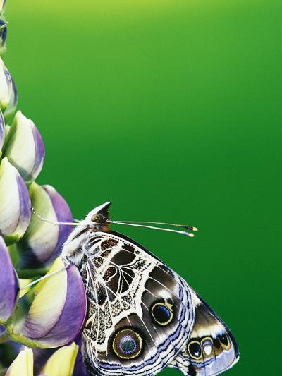 American Painted Lady on a Lupine-Darrell Gulin-Photographic Print